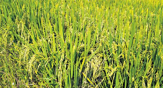 Telangana Sona rice to be promoted in national, international markets